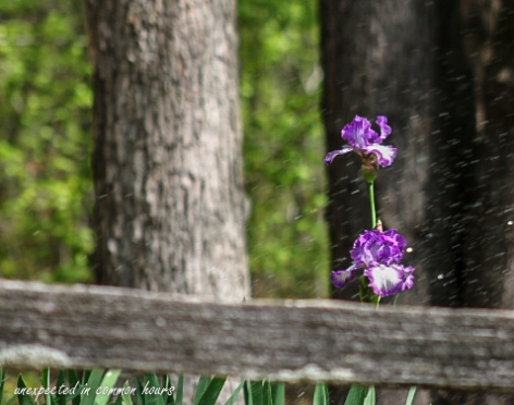 purple-iris-3