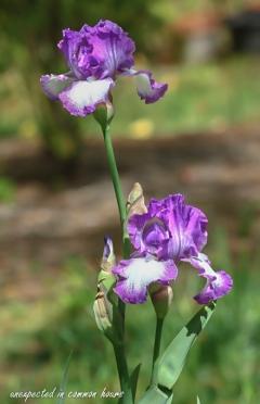 purple-iris-4