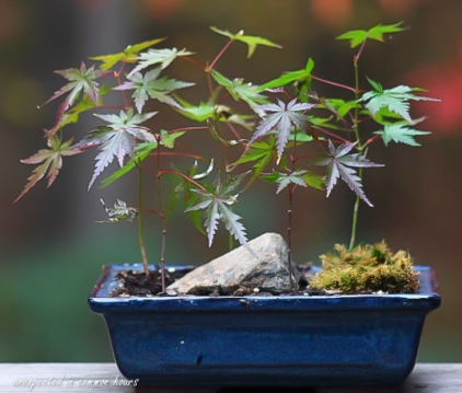 bonsai-japanese-maple
