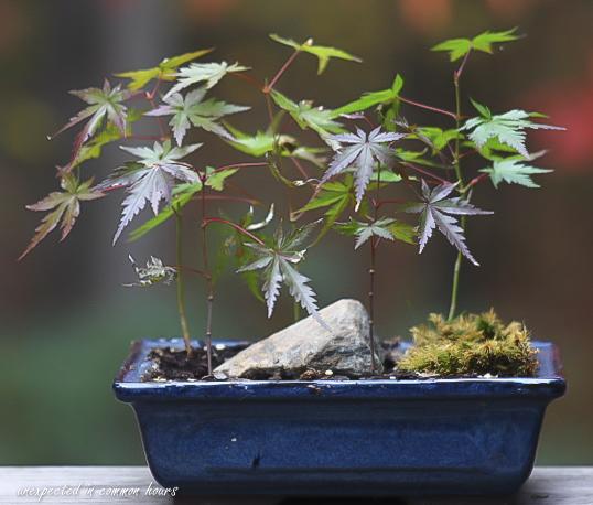 bonsai-japanese-maple