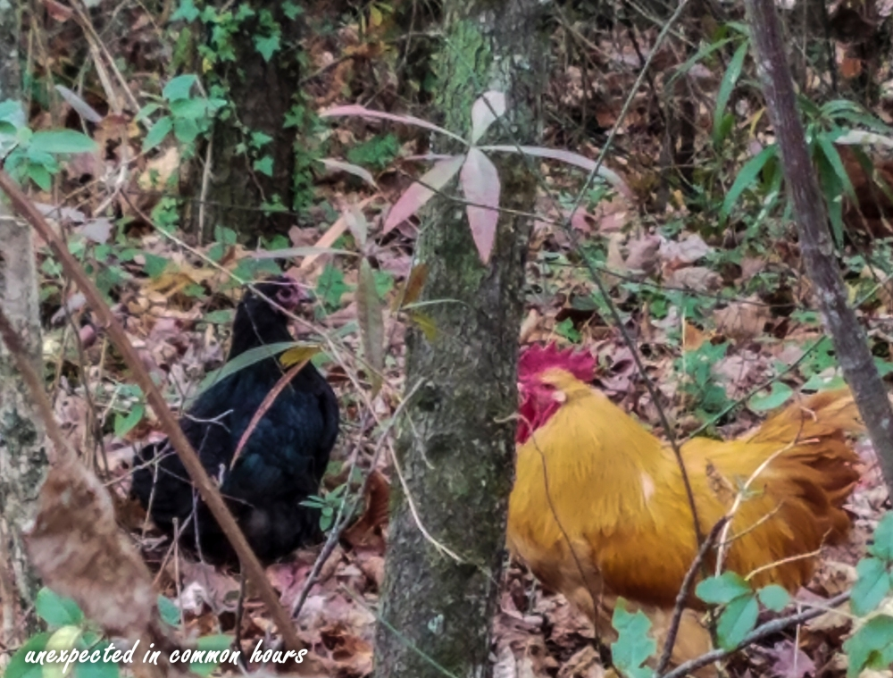 chickens-in-the-woods-1