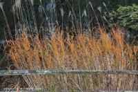 golden-grasses-2