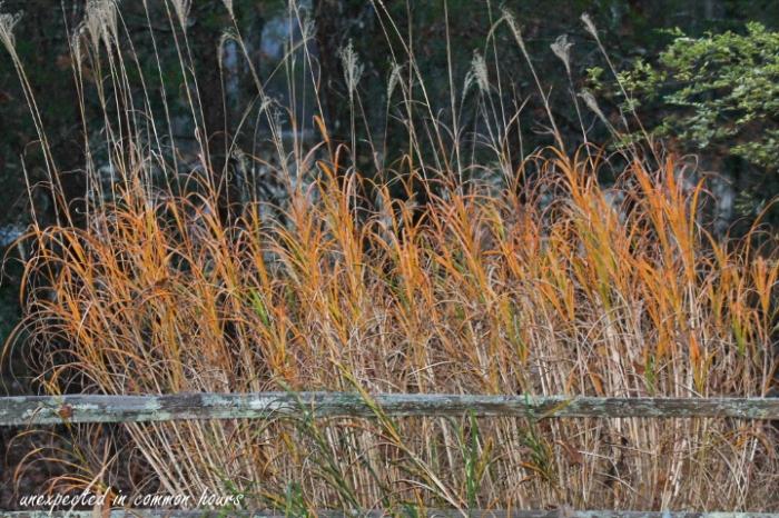 golden-grasses-2