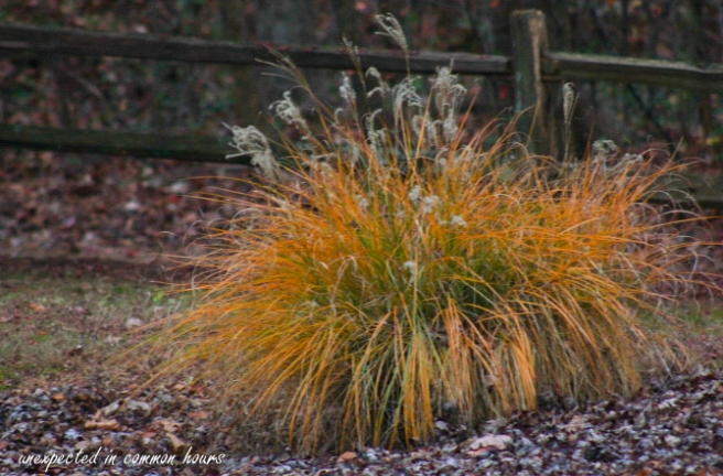 golden-grasses-5
