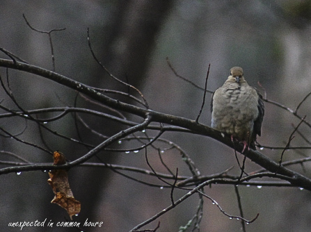 mourning-dove-2
