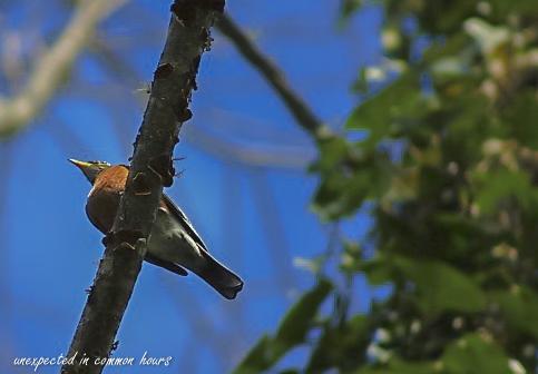first-robin