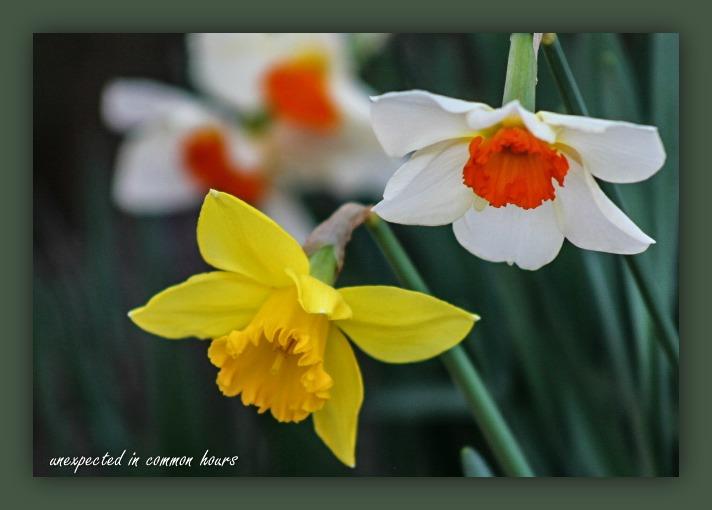 jonquils-or-daffodils