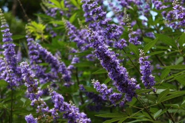 Purple chaste tree