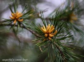 Pine in bloom
