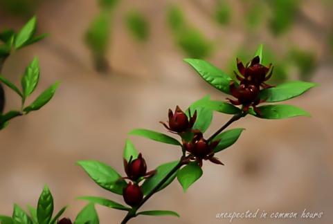 Sweet shrub 1