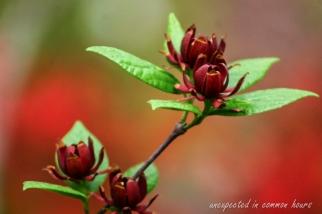 Sweet shrub 3