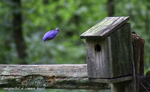 Bluebird 3-1