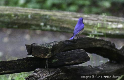 Bluebird 4-1