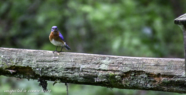 Bluebird 7-1