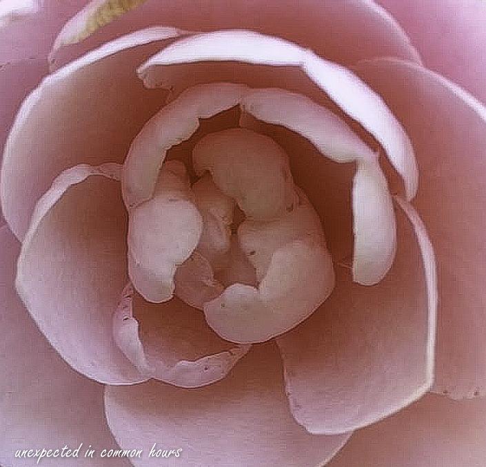 Camellia-1