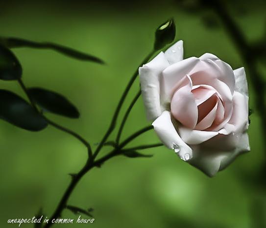 Pink rose 1-1