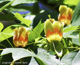 Tulip poplar 2-1