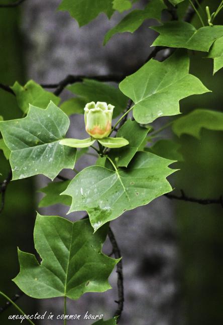 Tulip poplar 4-1