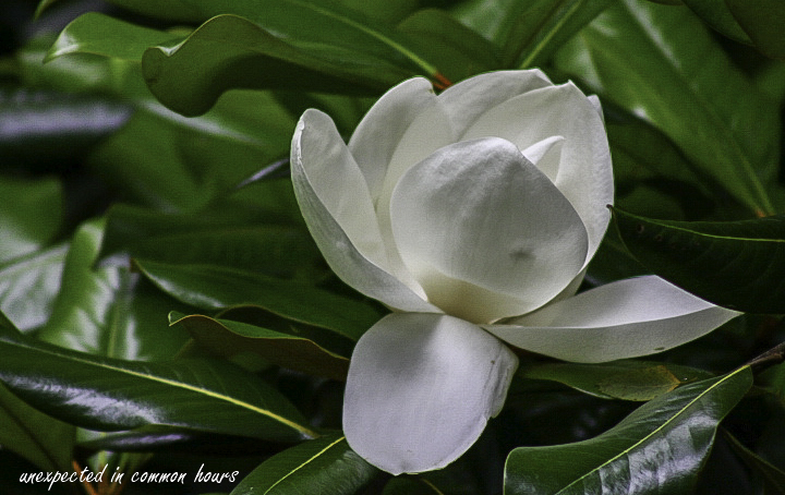 Fabulous Friday Magnolia And Happiness Unexpected In Common Hours