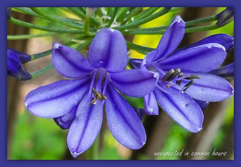 Agapanthus with border