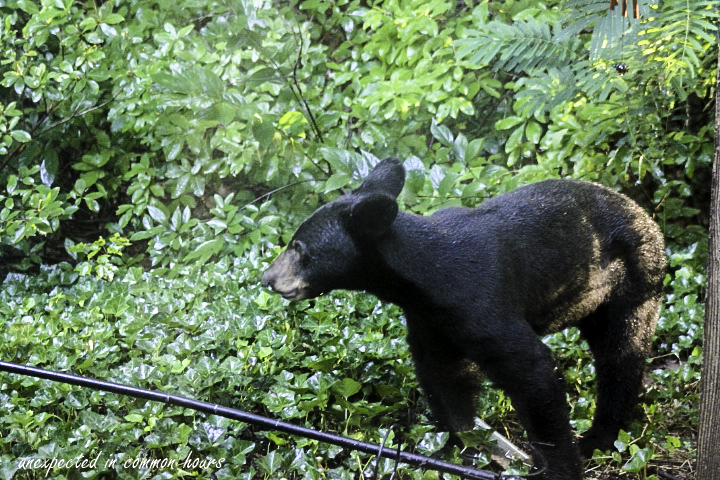 Bear at bird feeder 1