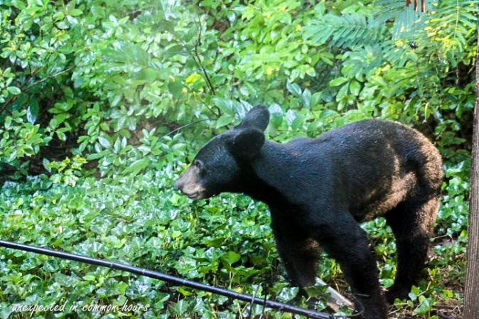 Bear at bird feeder 1