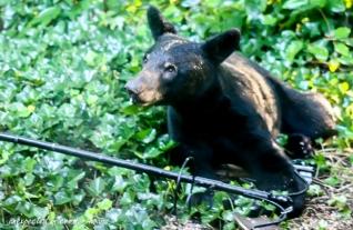 Bear at bird feeder 4