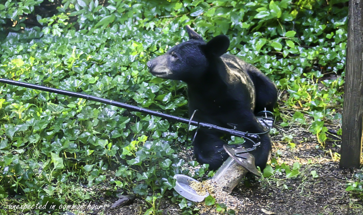 Bear at bird feeder 5