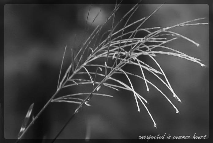 Zebra Grass plume