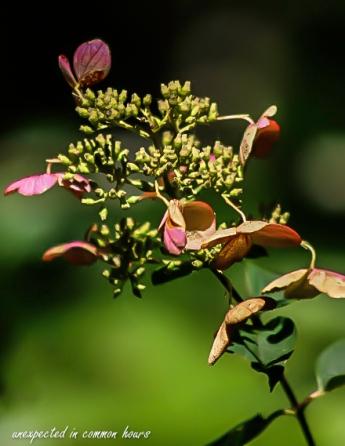Pink hydrangea tardiva 2