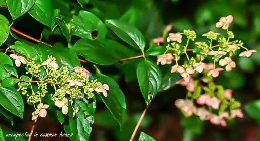 Pink hydrangea tardiva 3