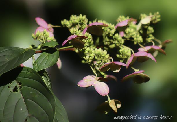 Pink hydrangea tardiva