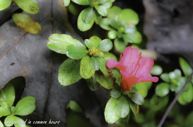 Autumn azalea 2