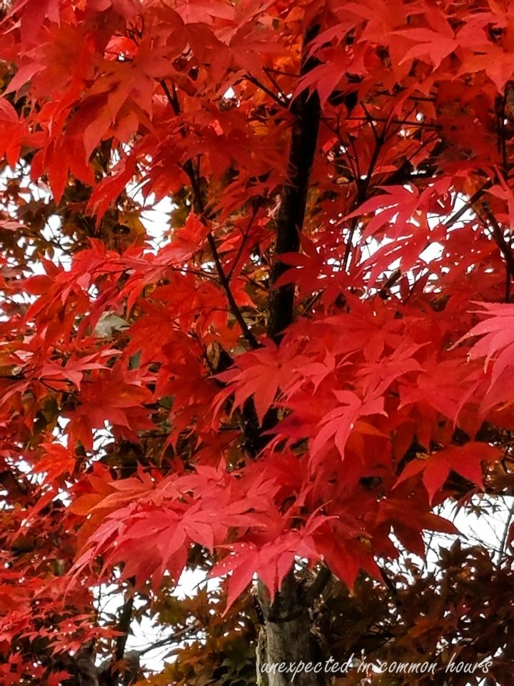Japanese maple 1-115730