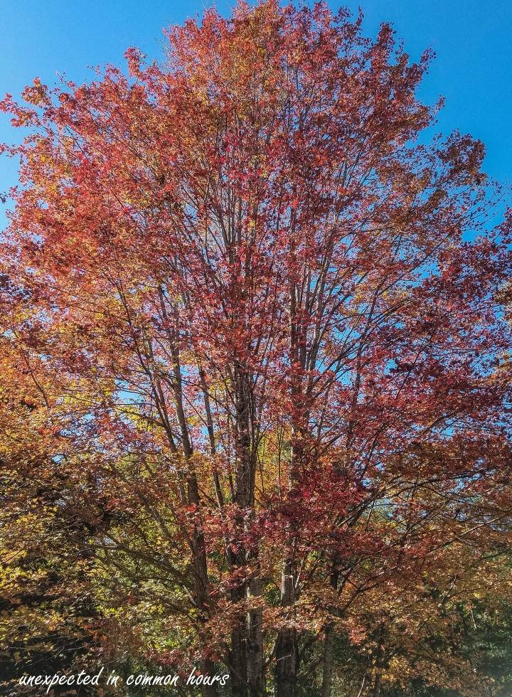 Maple tree-135146