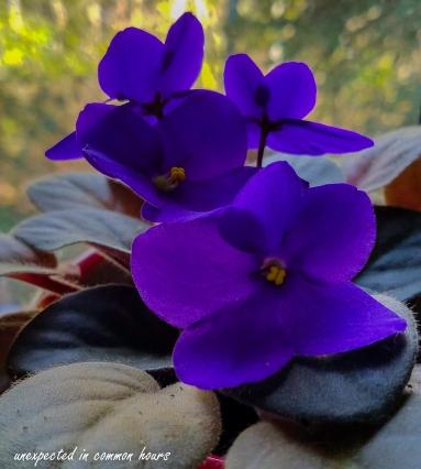 African violet in Jan
