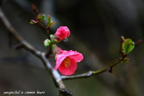 Flowering quince2