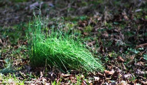 Wild onion grass