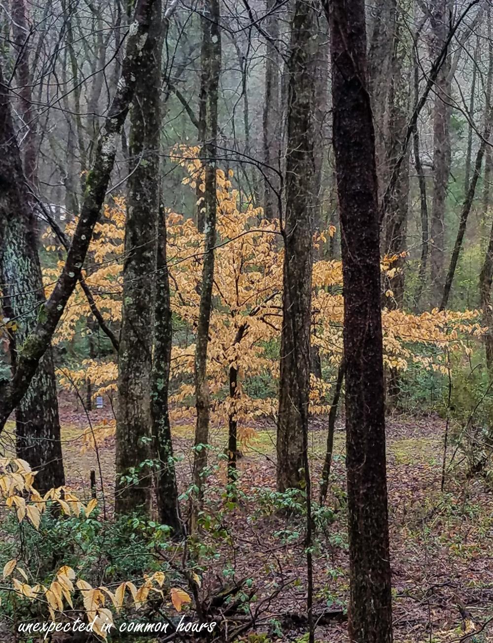 Beech tree2