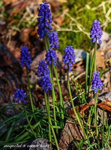 Grape hyacinth2