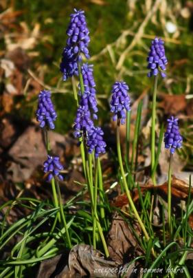 Grape hyacinth4