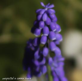 Grape hyacinth5