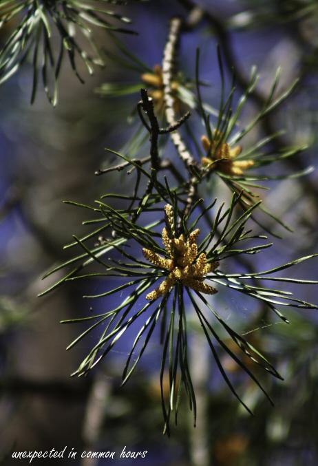 Pine tree pollen2