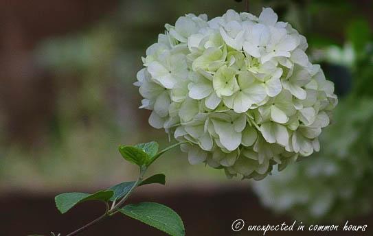 Snowball bush2