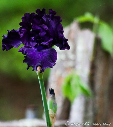 Dark purple iris2