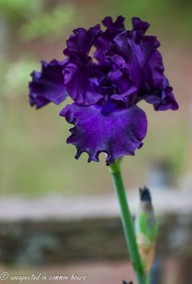 Dark purple iris3