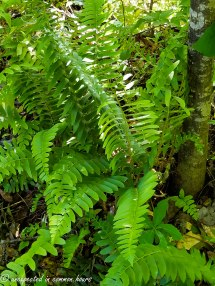 Ferns in the woods2