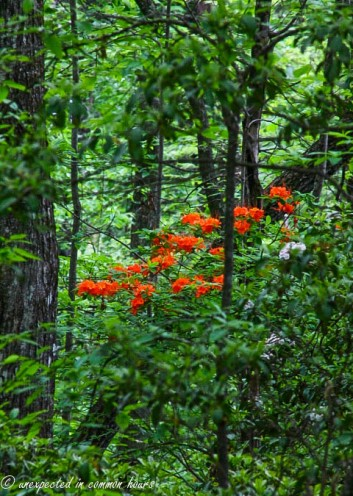 Flame azaleas in the woods