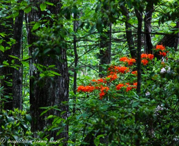 Flame azaleas in the woods2