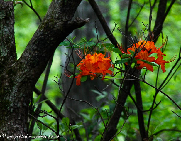 Flame azaleas in the woods3